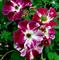 Роза Пурпл сплеш - фото 8302