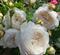 Роза Клэр Остин - фото 8303