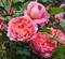 Роза Боскобель - фото 8306