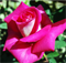 Роза Акапелла - фото 8313