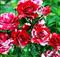 Роза Арроу Фолиес - фото 8315