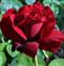Роза Норита - фото 8317