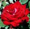 Роза Осирия - фото 8322