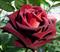 Роза Блек Баккара - фото 8328