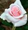Роза Титаник - фото 8346