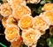 Роза Амбер Куин - фото 8375