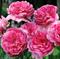 Роза Элоди Госсюэн - фото 8381