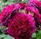 Роза Манстед Вуд - фото 8382