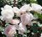 Роза Дездемона - фото 8384