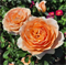 Роза Чарльз Остин - фото 8385