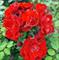 Роза Ред Эмпайр - фото 8387