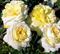 Роза Патриция Кент - фото 8388