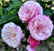 Роза Джефф Гамильтон - фото 8389