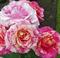 Роза Клод Моне - фото 8396