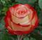 Роза Фарфалла - фото 8399