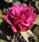 Роза Аманда Блю - фото 8400