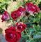 Роза Руби Стар - фото 8404