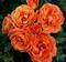 Роза Феникс - фото 8406