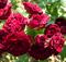 Роза Ред Сенсейшн - фото 8408