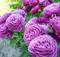Роза Хайди Клум - фото 8409