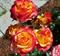 Роза Хиш Сацити - фото 8410