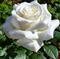 Роза Боинг - фото 8412