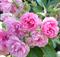 Роза Пинк Гротендорст - фото 8415