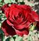 Роза Ред Наоми - фото 8419