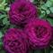 Роза Твайлайт Зоун - фото 8422