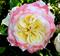 Роза Акварель - фото 8424